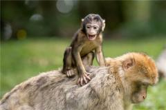 属猴人出生月的命运