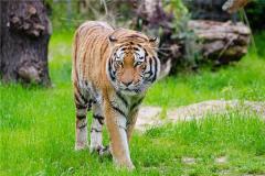 属虎和什么属相最配?