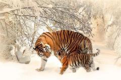 不同时辰属虎人的命运