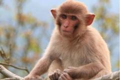 1980年属猴的人2021年运势运程男命女命 今年佩戴什么吉祥物好