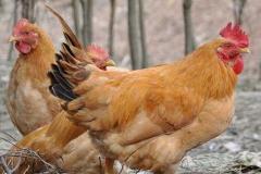 属鸡2021年运势及运程 属鸡的人2021年全年每月运势测算