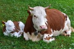 1997年属牛24岁本命年不顺是真的吗 2021年生肖牛本命年的禁忌是什么