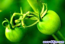 梦见青西红柿、不熟的番茄