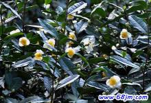 梦见茶树开花