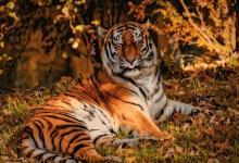 1986年属虎的生肖贵人是什么?86年属虎2021年运势好不好?