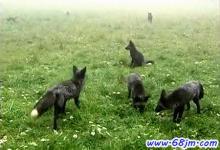 梦见黑狐狸、黑色狐狸