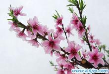 梦见桃花开、桃树开花