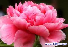 梦见牡丹花或牡丹开花