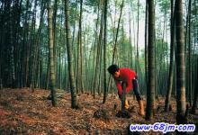 梦见挖竹子